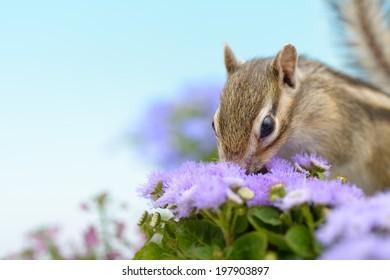 Chipmunk smelling flower