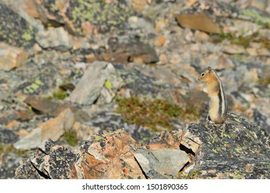Chipmunk squirrel standing and looking left at brown rocks with hands together.