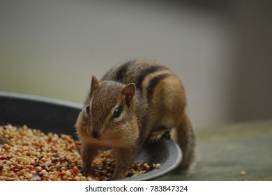 chipmunk stealing birdseed  with fully stuffed cheeks