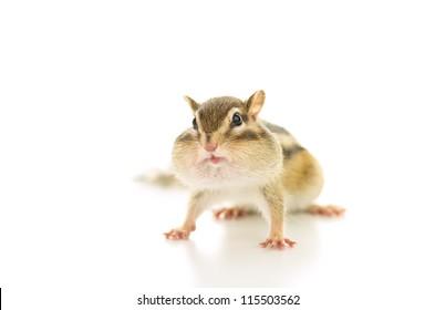 Chipmunk stuffing food