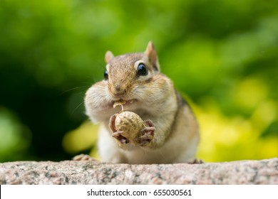 chipmunk stuffing nuts inside it's mouth