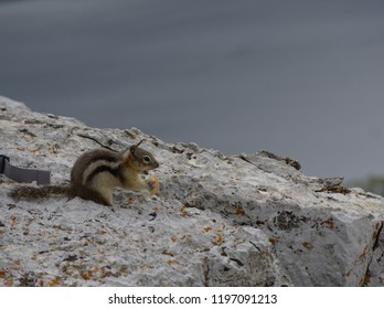 A chipmunk, tamias stritaus, standing on a rock on a blue background