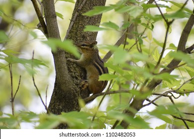 Chipmunk in Tree
