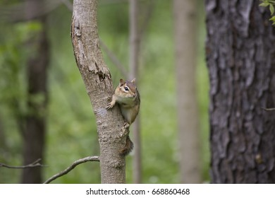 Chipmunk in a tree.  On a trail.