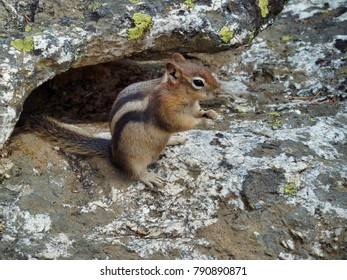 Chipmunk Yellowstone National Park