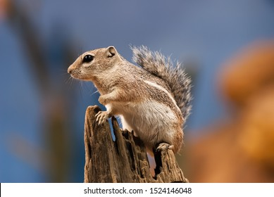 Chipmunks are small, striped rodents of the family Sciuridae. Chipmunks are found in North America, with the exception of the Siberian chipmunk which is found primarily in Asia.
