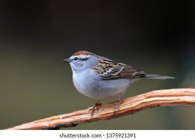 Chipping Sparrow bird