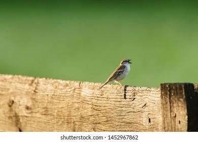 chipping sparrow bird birding bird calling fence wildlife birds song house