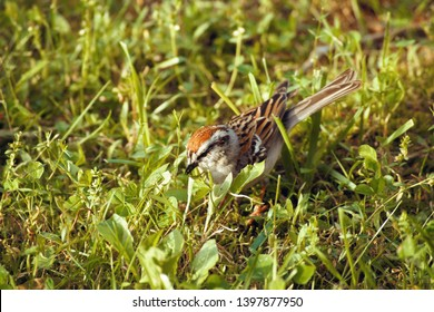 Chipping sparrow eating bird seed