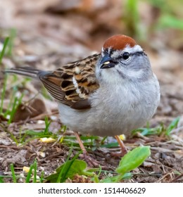 Chipping Sparrow eating the millet that has dropped from a bird feeder onto the ground.