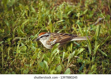 The chipping sparrow in the grass