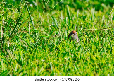 a chipping sparrow hiding in the grass