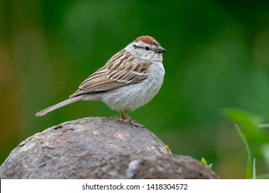 Chipping Sparrow in my backyard