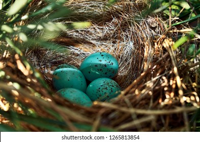 Chipping Sparrow nest with four eggs, Spizella passerina, West Virginia; The Chipping Sparrow is a species of American sparrow in the family Emberizidae.