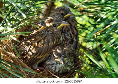 Chipping Sparrow nest with four young birds, Spizella passerina, West Virginia; The Chipping Sparrow is a species of American sparrow in the family Emberizidae.