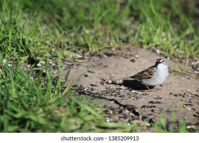 Chipping Sparrow on the Ground