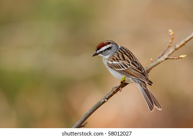 Chipping sparrow on a perch