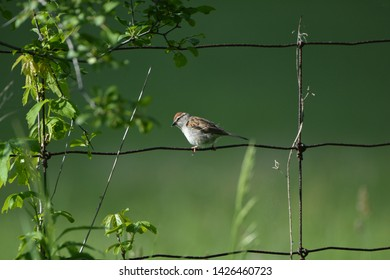 Chipping Sparrow on rusty wire fence