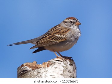 Chipping Sparrow on White Birch stump with a blue sky background, at a nature center in suburban Philadelphia, Pennsylvania