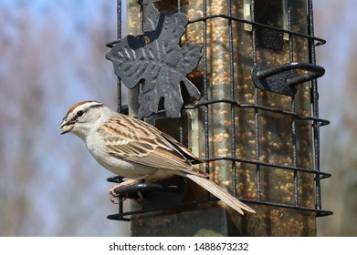 A Chipping sparrow (or chip bird), with its russet cap, perched at a feeder with a seed in its beak.