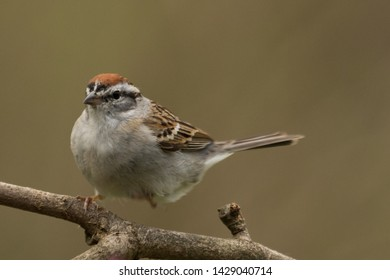 Chipping Sparrow in Pennsylvania USA