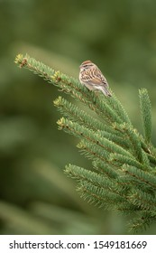 Chipping Sparrow perched in green spruce tree with blurry background.