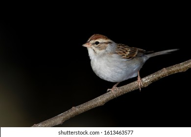 Chipping sparrow perched on a backyard feeder