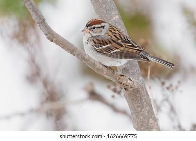 A Chipping Sparrow is perched on a bare branch. Taylor Creek Park, Toronto, Ontario, Canada.