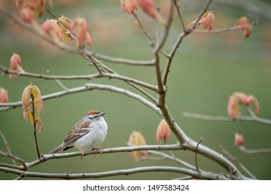 A Chipping Sparrow perched on a branch with fresh spring red leaves and a smooth green background.
