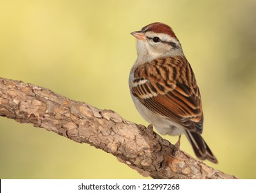 Chipping sparrow perched on the branch