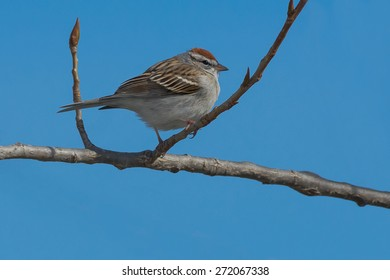 Chipping Sparrow perched on a branch.
