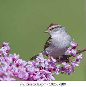 Chipping Sparrow Perched on a Flowering Eastern Redbud Branch