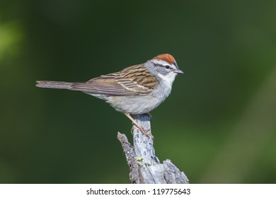 Chipping Sparrow perched on a stump