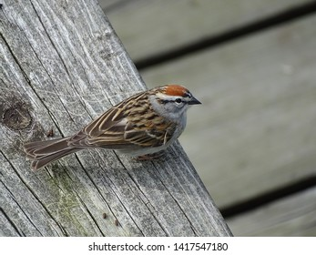 Chipping sparrow perched on wooden balcony in the spring