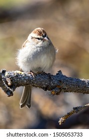 A chipping sparrow perched in a tree.