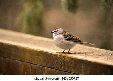 A chipping sparrow sits on a deck banister in spring.