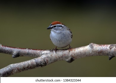 Chipping Sparrow sits perched on a branch