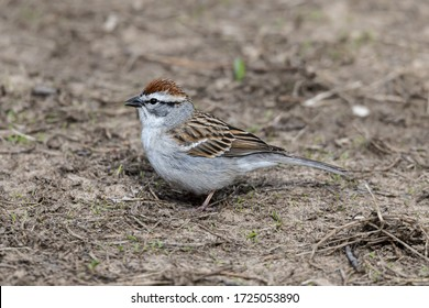 Chipping Sparrow sitting on the ground