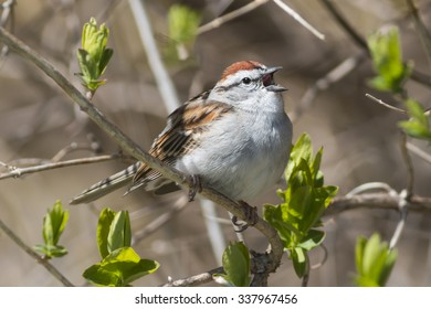 Chipping sparrow songbird singing in a springtime tree with green buds beginning to bloom