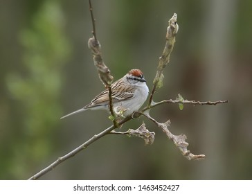 Chipping Sparrow (spizella passerina) (american)