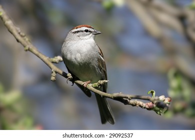Chipping Sparrow (Spizella passerina) in an Apple Tree that is beginning to blossoms