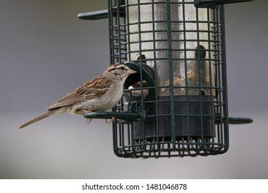 Chipping sparrow (Spizella passerina) at a backyard feeder in Muskoka Ontario in late summer