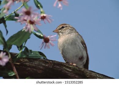 Chipping Sparrow (Spizella Passerina) Bird