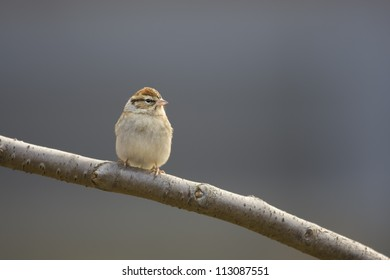 """Chipping Sparrow (Spizella passerina passerina), """"Eastern"""" subspecies, in winter plumage sitting on branch with clear gray background."""