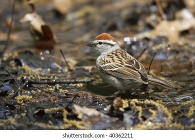 Chipping Sparrow (Spizella passerina passerina), Eastern subspecies, about to bathe in Tanner's Spring in New York's Central Park.