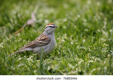 Chipping Sparrow (Spizella passerina passerina), Eastern subspecies, Spring migrant in breeding plumage feeding in grass.