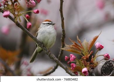 Chipping Sparrow (Spizella passerina passerina), Eastern subspecies, spring migrant in breeding plumage sitting in cherry tree (Prunus sargentii)