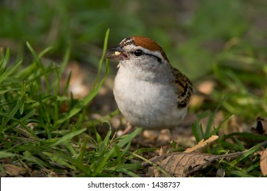 Chipping Sparrow - Spizella passerina - eating a seed