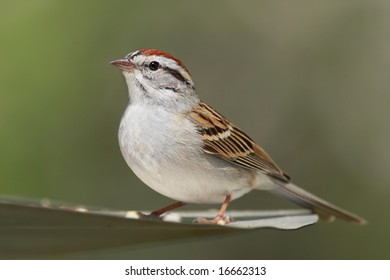 Chipping Sparrow (Spizella passerina) with a green background