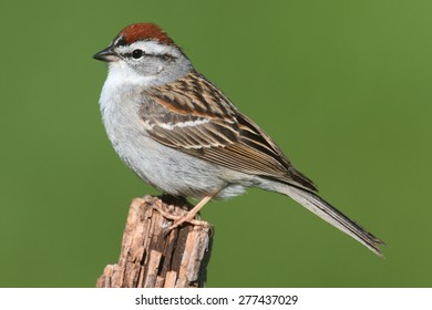 Chipping Sparrow (Spizella passerina) on a branch with a green background